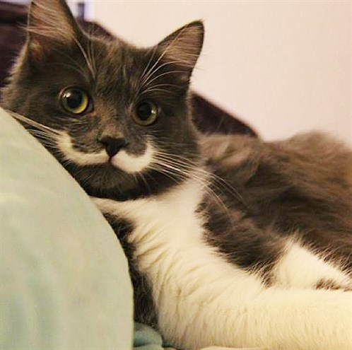 Hamilton -the -hipster -cat